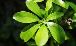 CÂY NGŨ GIA BÌ - Chớ bỏ qua thần dược tuyệt vời cho sức khỏe, hút tài lộc thúc vượng khí
